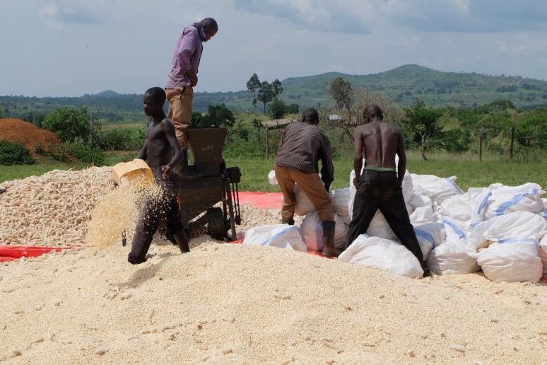 maize threshing 2
